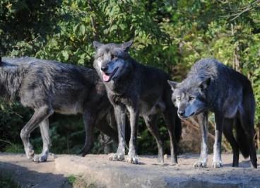 Zwei Wölfe - Blogartikel von Antje Heimsoeth